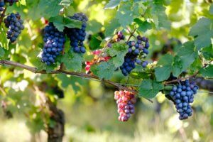 blue and red grapes in a vineyard